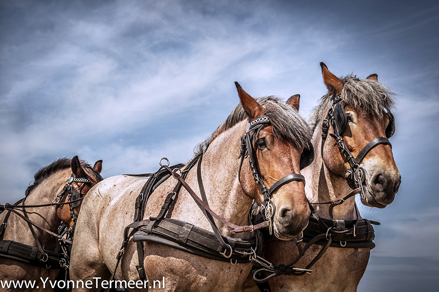 trekpaarden2 900